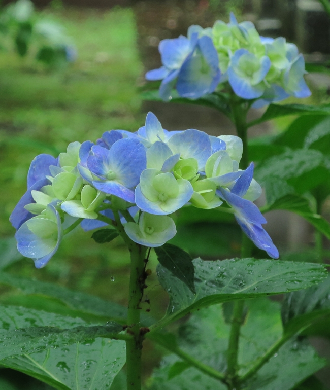 Typical Japanese hydrangeas are blue. And not a namby-pamby blue, either. I mean, Japanese hydrangeas : American hydrangeas = a French baguette fresh from the oven eaten on the banks of the Seine as the sun rises : Wonder Bread. If you know what I mean.