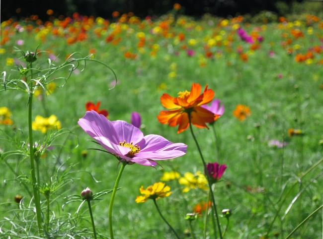 They plant two sections of mixed cosmos at staggered times – one blooms in mid-September, the other in early October