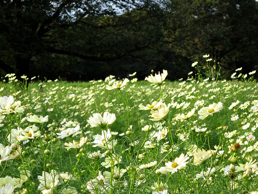 And at the end (early- to mid-October) this pale yellow and white field comes into bloom
