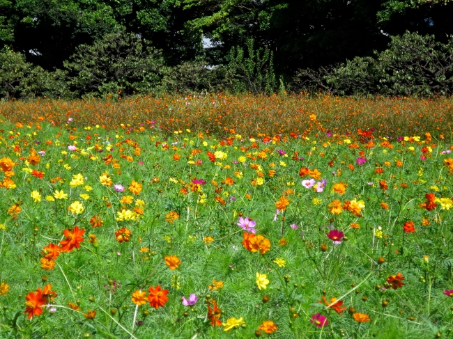 This park has a smaller field of cosmos, but it's still lovely, and has more of a color mix