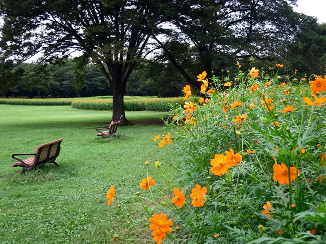 The cosmos season at this park last from mid-September to mid-October, starting with these orange ones (mid- to late-September)