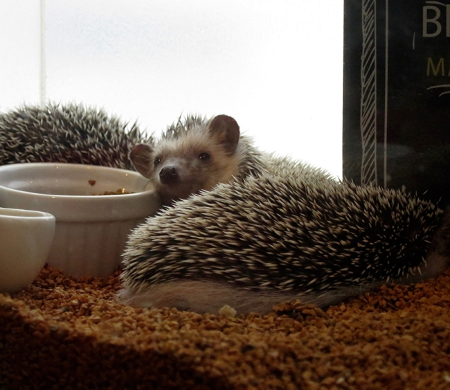 One slight drawback: hedgehogs are naturally nocturnal, which means that some are not as eager to be played with as they might be at, say midnight