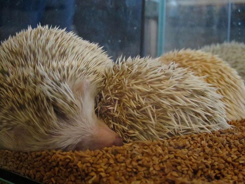 Well, snuggle might not be quite the right word. As you can see, that's not fur – those are spines