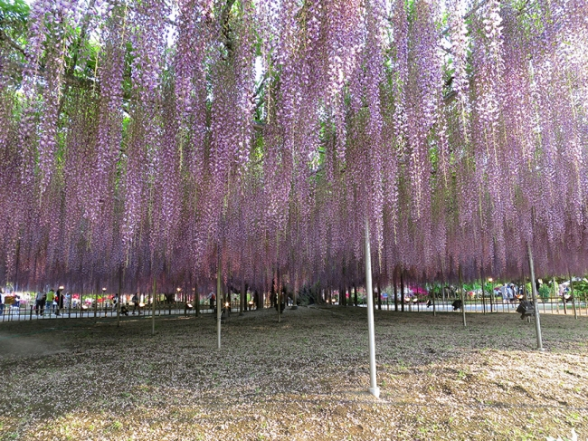 Wisteria Festival At Ashikaga Flower Park Japan National Tourism