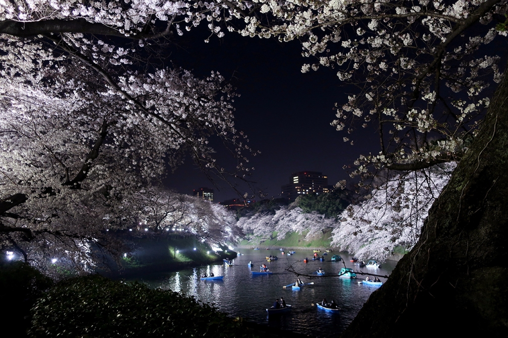 Cherry trees in full bloom at Imperial Palace Moat Chidorigafuchi lit up at night with boats
