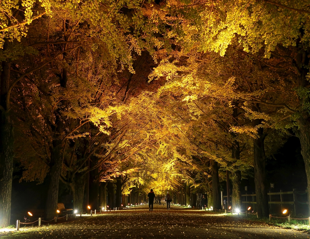 Ichou namiki ginkgo trees with autumn leaves lit up at night at Showa Kinen Park