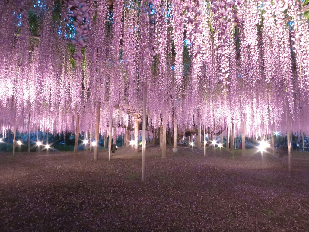 Giant blooming wisteria lit up at night at Ashikaga Flower Park