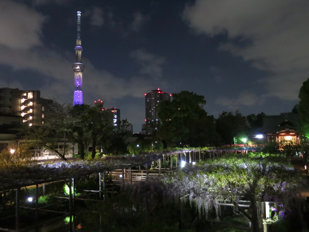 Wisteria lit up at night at Kameido Tenjin shrine with purple Skytree