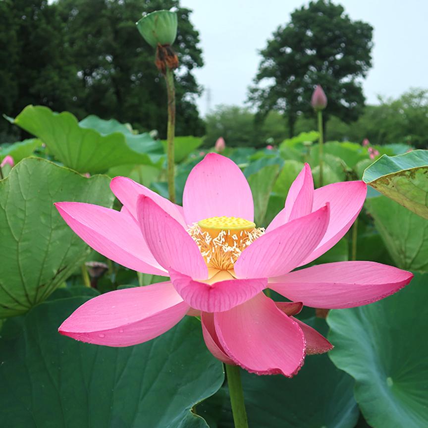 Blooming lotus at Gyoda Ancient Lotus Park Gyoda Hasu-en