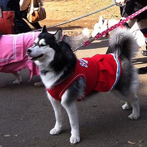 Dogs dressed in schoolgirl uniforms at Yoyogi Park