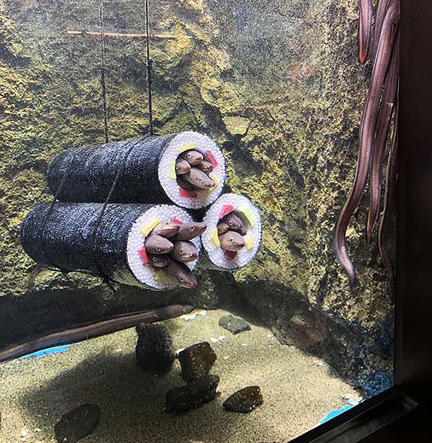 Live eel sushi rolls