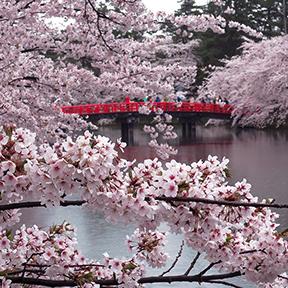 Cherry blossoms at Hirosaki Castle