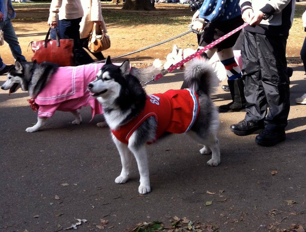 Huskies dressed in schoolgirl uniforms in Yoyogi Park in Tokyo