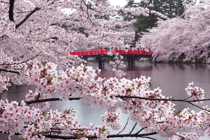 Cherry blossoms and bridge at Hirosaki Castle